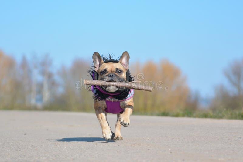 Bulldog francese del fawn felice che porta un cappotto porpora di inverno che recupera il giocattolo del cane del bastone durante fotografia stock libera da diritti