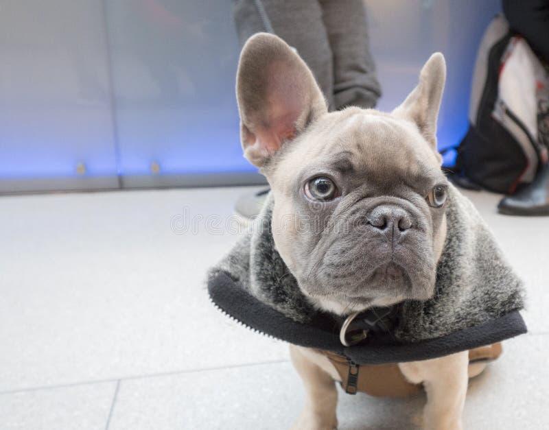 Bulldog francese del piccolo cucciolo fotografie stock libere da diritti
