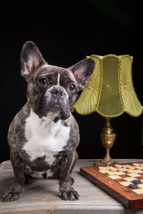 Bulldog francese di colore della tigre con i controllori sul nero fotografia stock