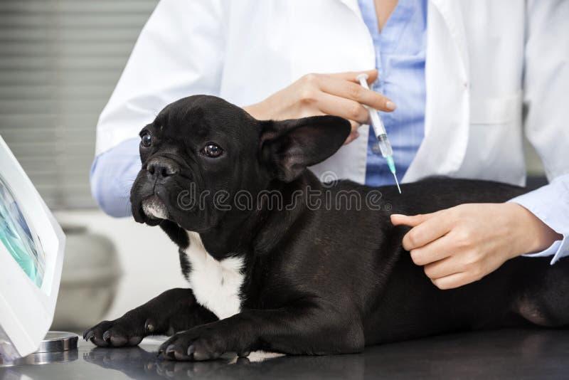 Bulldog francese di Giving Injection To del veterinario che si trova sulla Tabella immagine stock libera da diritti