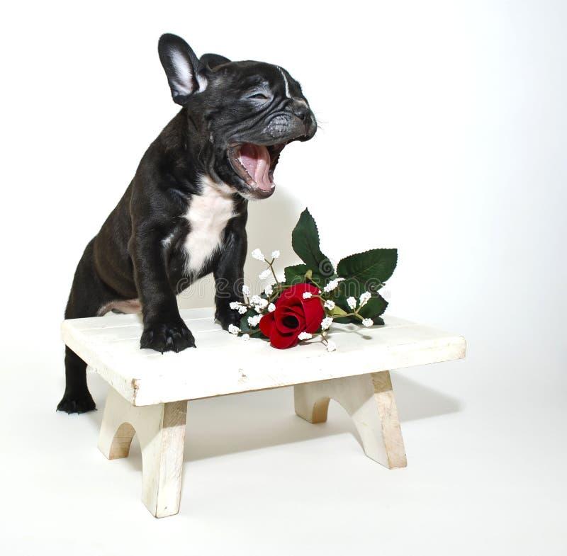 Bulldog francese divertente immagini stock