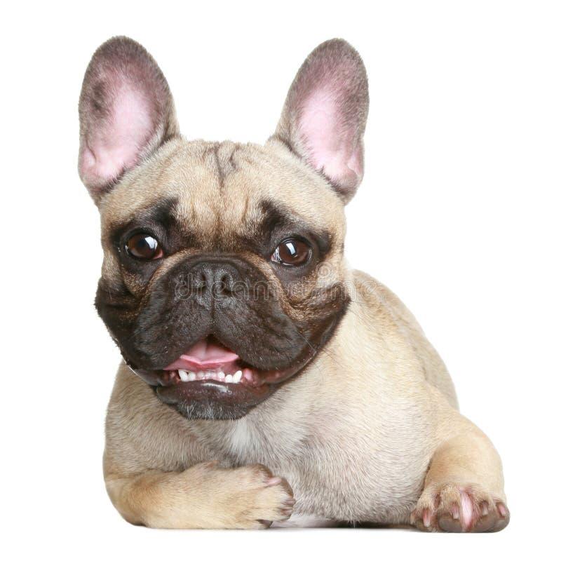 Bulldog francese felice immagine stock libera da diritti