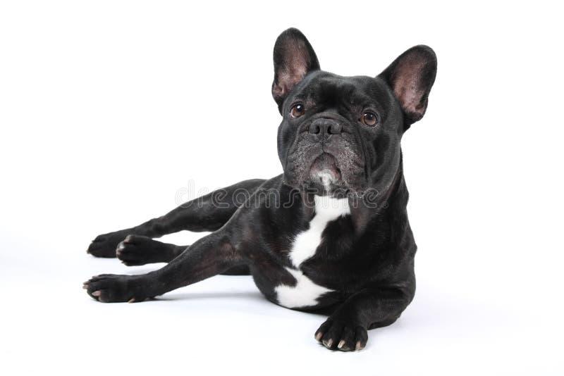 Bulldog francese nero su priorità bassa bianca. fotografia stock