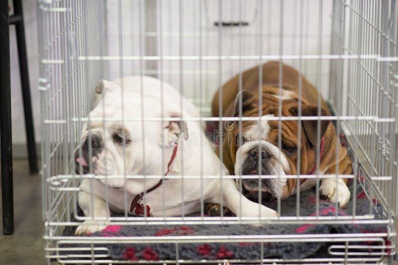 Bulldog francesi nella gabbia fotografia stock libera da diritti