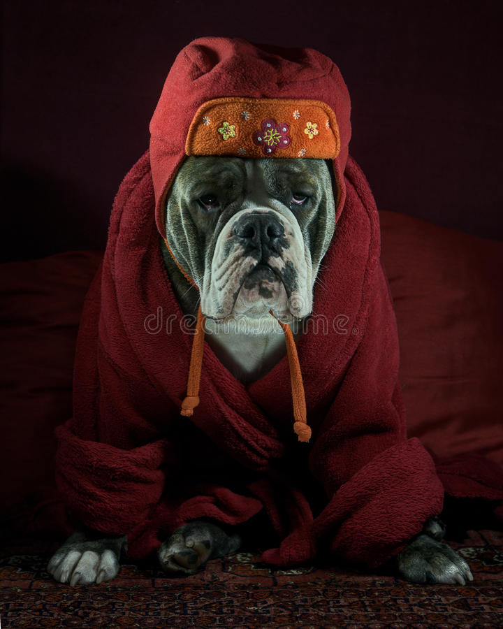 Bulldog in the HDR. A thoughtful Olde English Bulldog in the HDR, which is dressed in a robe and cap stock photo