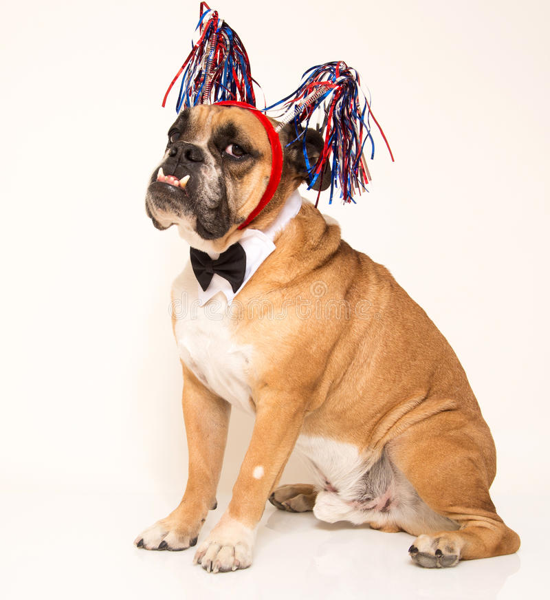 Bulldog with his holiday streamers and bow tie. English Bulldog dressed up for the 4th of July in his red white and blue and his bow tie stock image