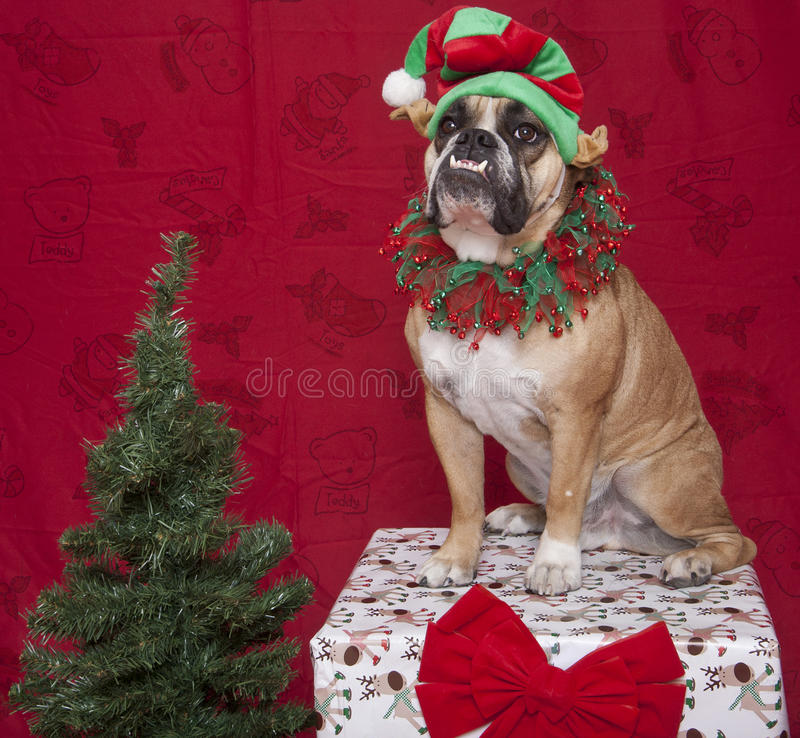 Bulldog Holiday Elf Portrait. A bulldog holiday portrait dressed as an elf with hat, ears and collar stock photography