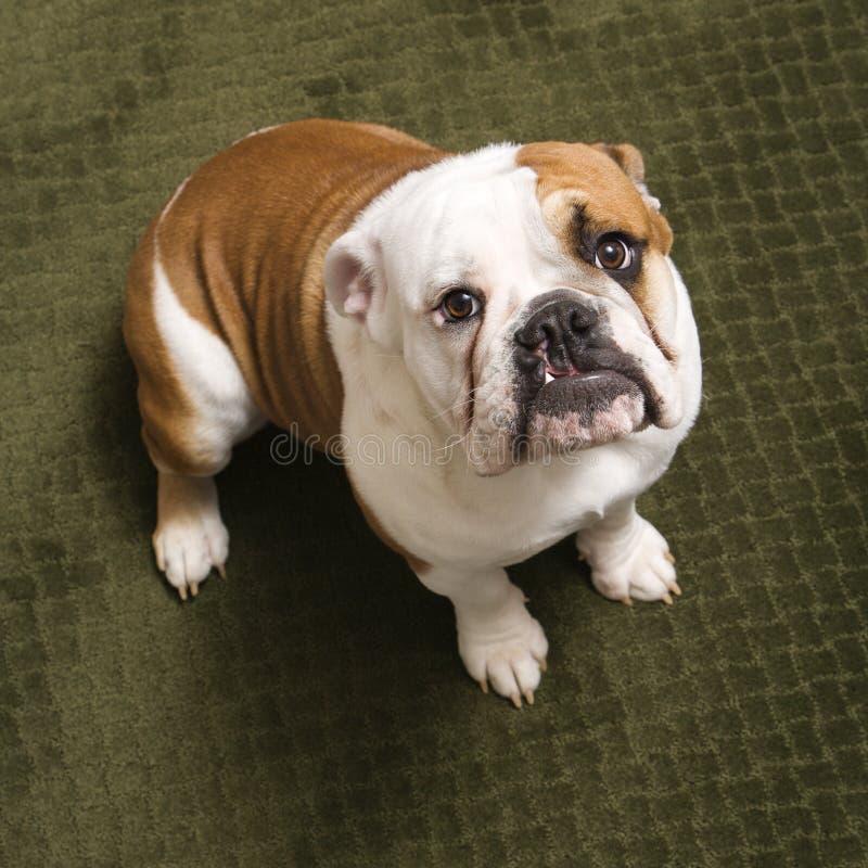 Bulldog inglese. immagine stock