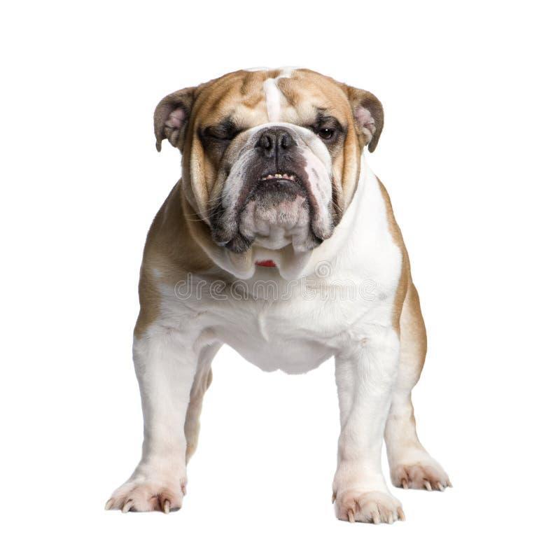 Bulldog inglese (3 anni) fotografia stock