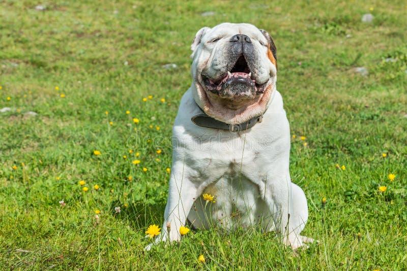 Bulldog inglese bianco che si siede in un prato verde immagini stock