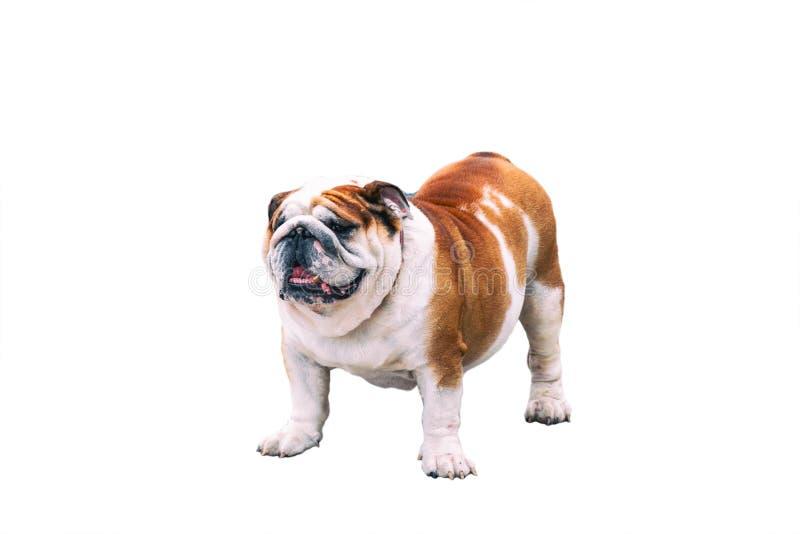 Bulldog inglese isolato fotografia stock