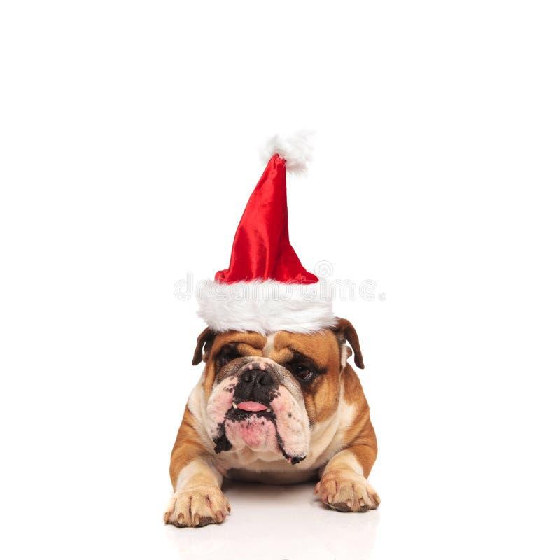 Bulldog inglese scontroso Santa che attacca fuori la sua lingua fotografia stock