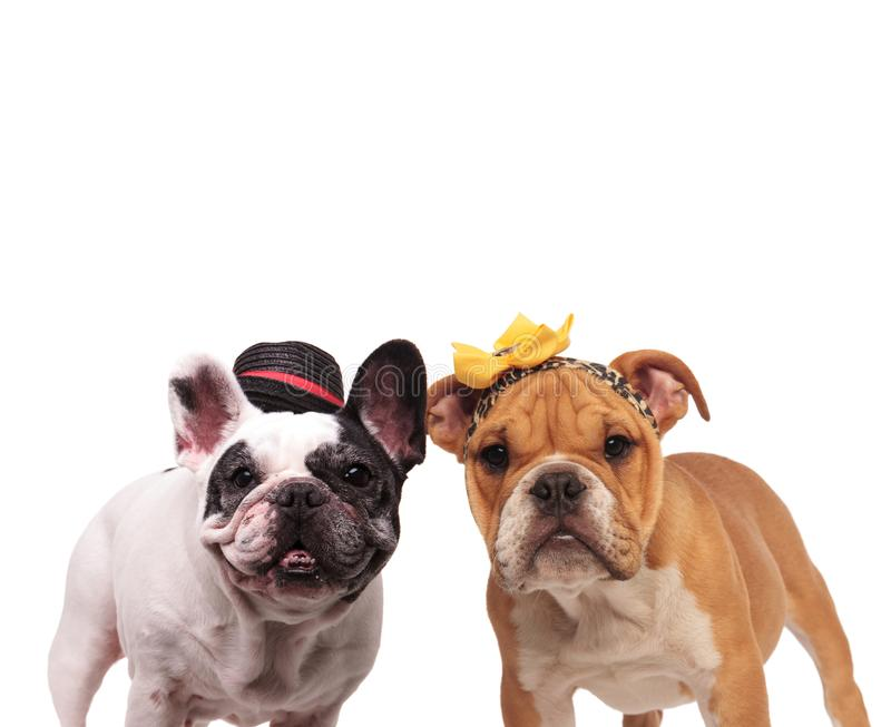 Bulldog inglesi dell'estremità francese felice che portano i costumi che stanno toge immagini stock