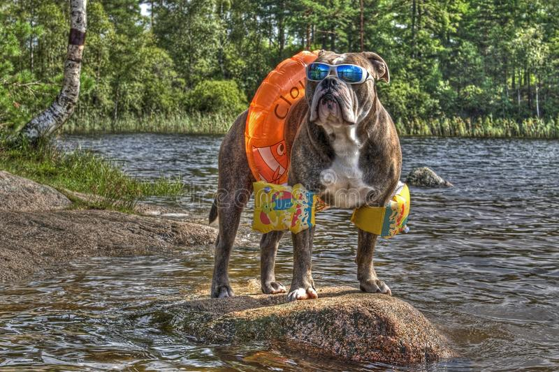 Bulldog in lake with floaties on in HDR. Olde English bulldog hanging out on a lake with swimming ring, arms floaties and sunglasses in HDR ...... in Sweden royalty free stock photography