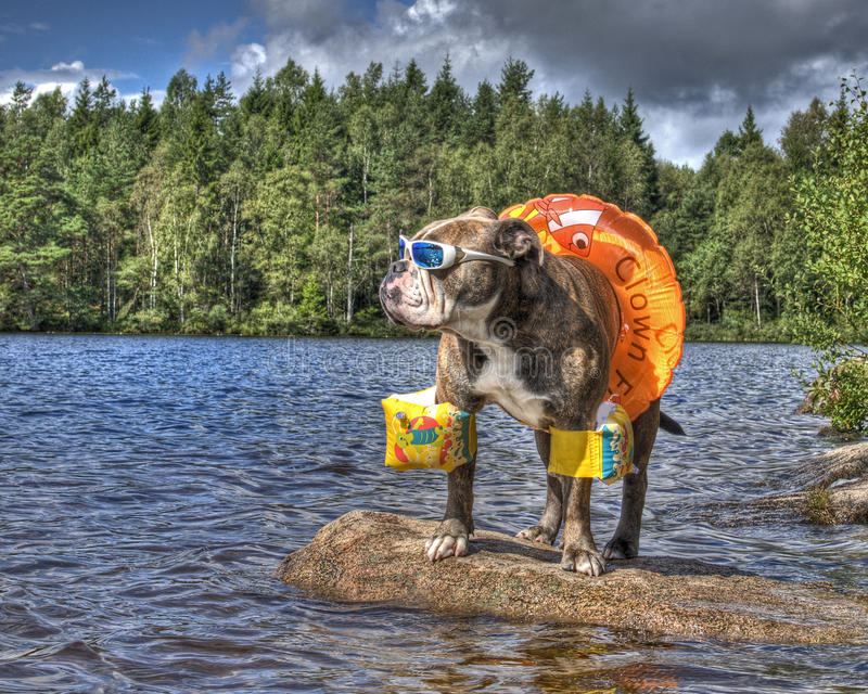 Bulldog in lake with floaties on in HDR. Olde English bulldog hanging out on a lake with swimming ring, arms floaties and sunglasses in HDR ...... in Sweden royalty free stock photo