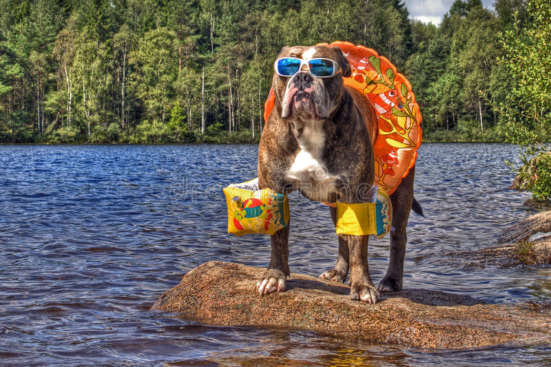 Bulldog in lake with floaties on in HDR. Olde English bulldog hanging out on a lake with swimming ring, arms floaties and sunglasses in HDR ...... in Sweden stock photo