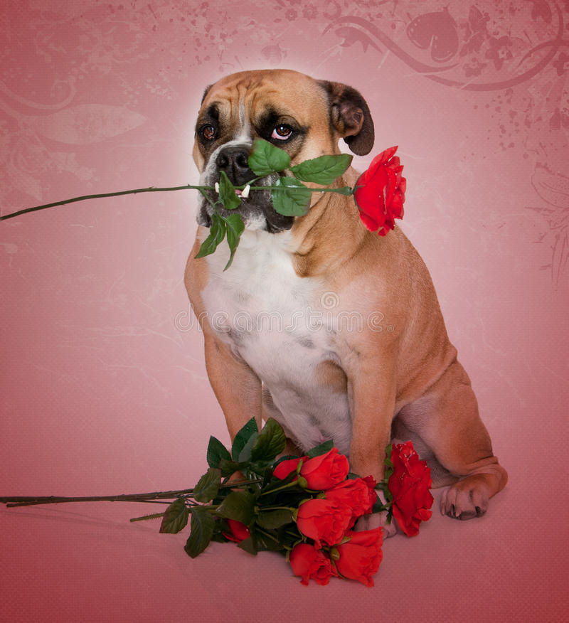 Bulldog in love portrait. Bulldog lover with flowers in his teeth portrait royalty free stock photos