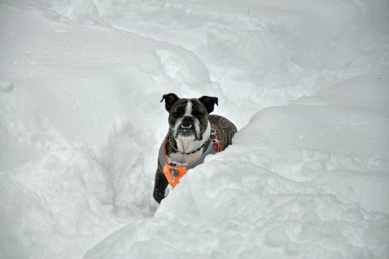 Bulldog in neve fotografie stock