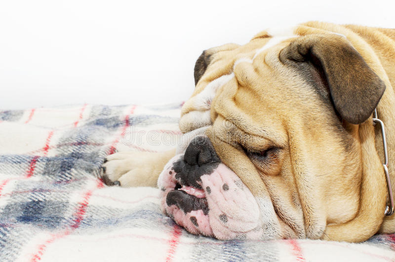 Download Bulldog on a plaid stock photo. Image of snoring, relaxation - 21988162