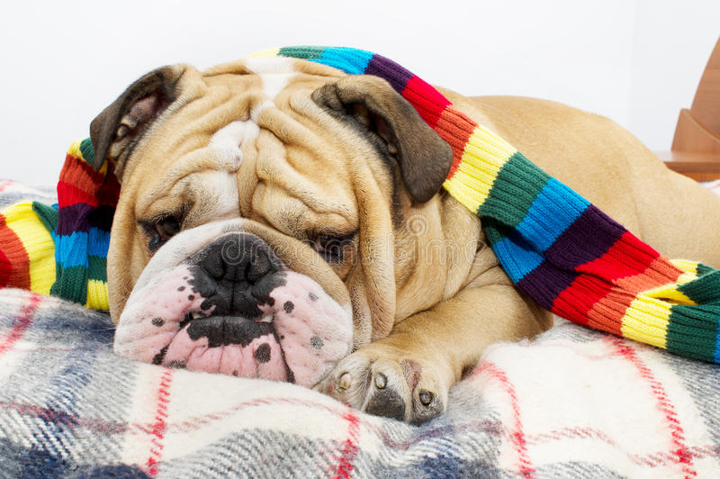Download Bulldog on a plaid stock photo. Image of snore, dreaming - 21988190