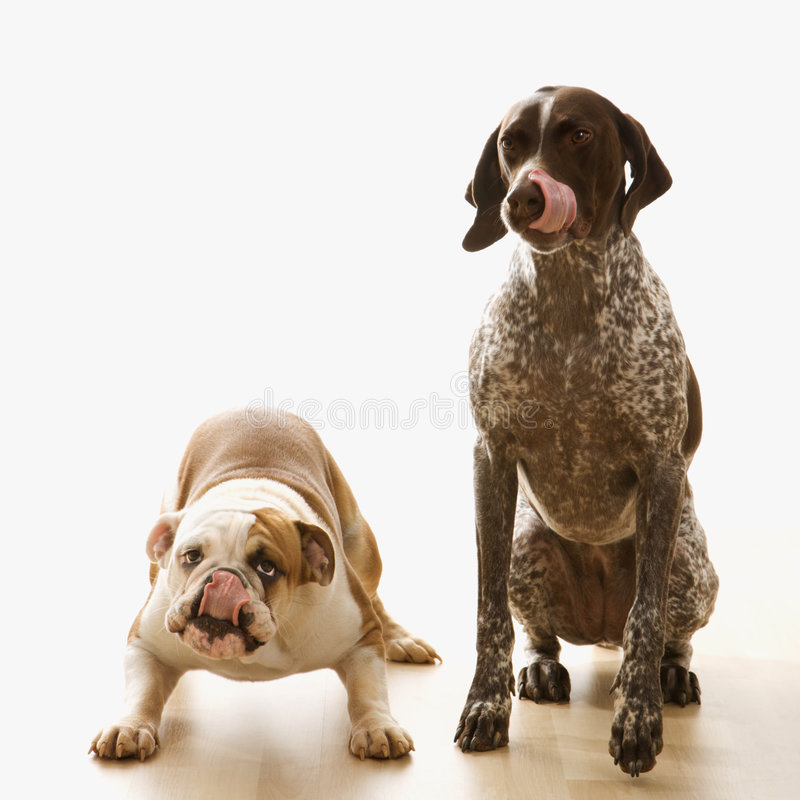 Bulldog and Pointer sitting licking lips. royalty free stock images