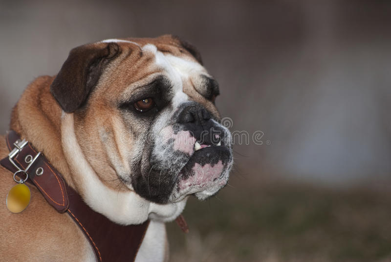 Bulldog. Portrait of a white and tan english bulldog wearing a brown leather harness shot in natural light royalty free stock image