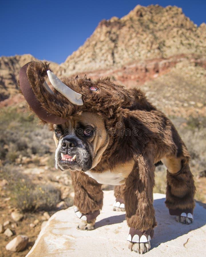 Bulldog posed as a Woolly Mammoth. A bulldog posed on a rock dressed up as a Woolly Mammoth stock image