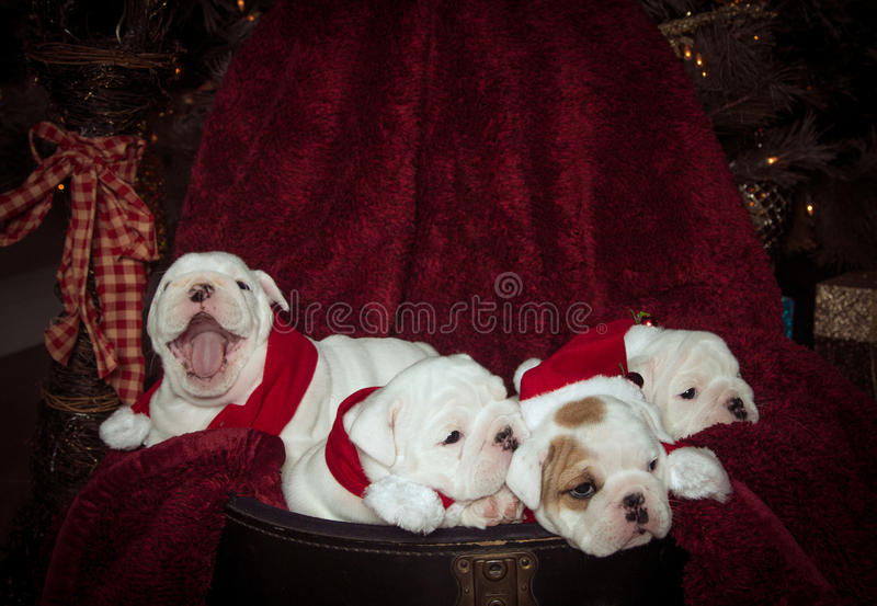 Bulldog puppies for Christmas. A group of four bulldog puppies posing for their Christmas picture, but one is bored and yawning stock photo