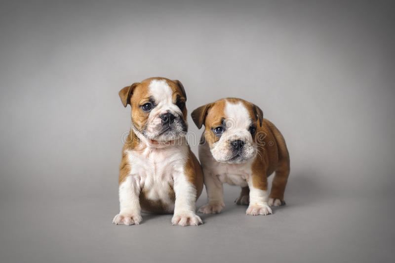 Bulldog puppies. English bulldog puppies on grey backgroundy stock photography
