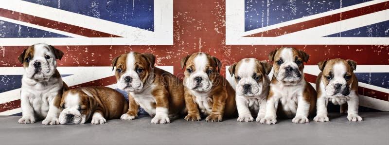 Bulldog puppies. English bulldog puppies on Union Jack flag background stock photos