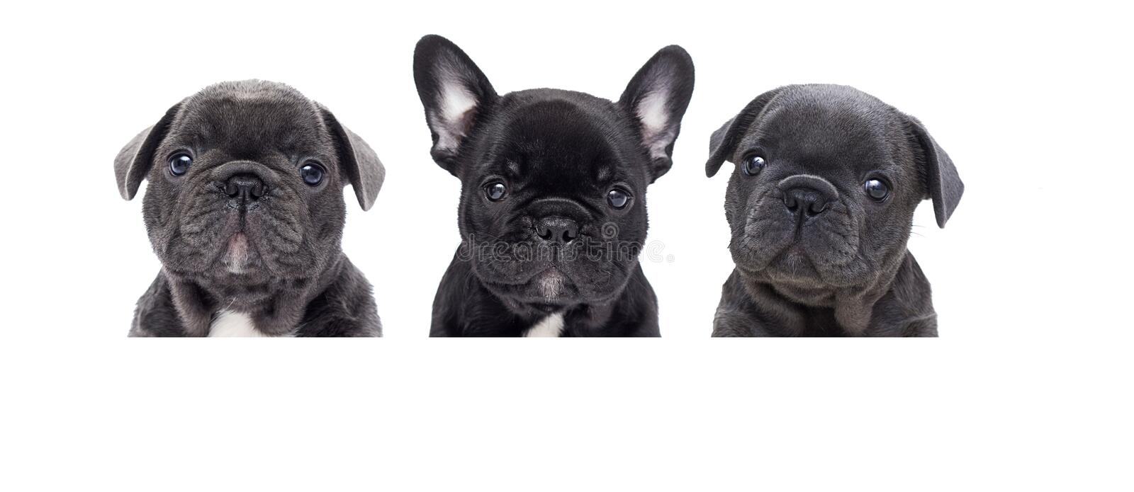 bulldog puppies looking up on a white background stock photography