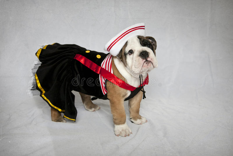 Bulldog puppy in sailor suit. An English Bulldog puppy dressed up in her little sailor suit royalty free stock image