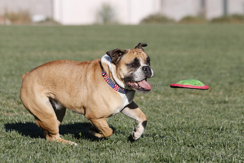 Bulldog running after a disk about to catch it royalty free stock photos