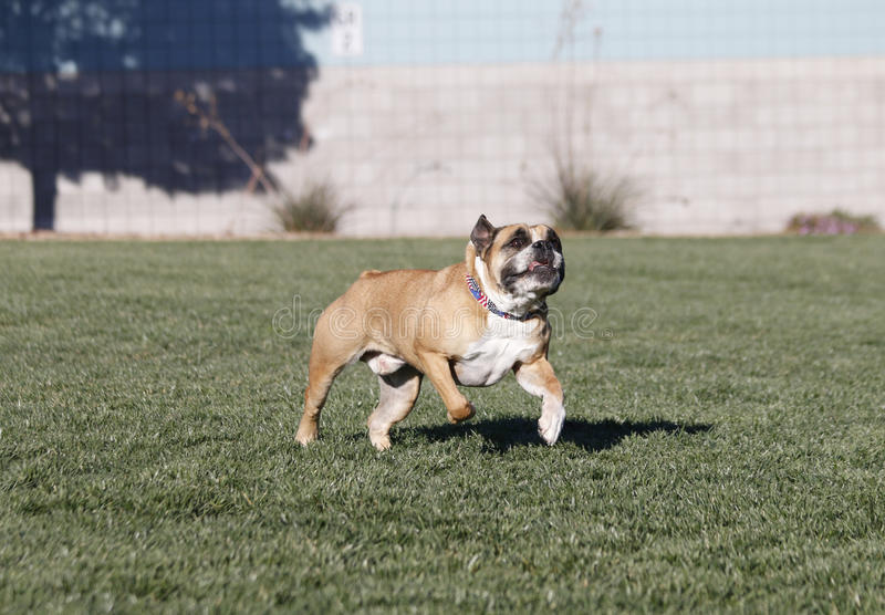 Bulldog running after a toy with his tongue out stock images