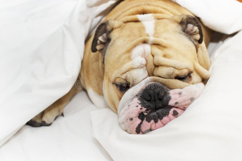 Bulldog sleeping on a bed