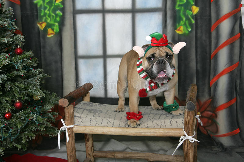Bulldog smiling elf. English Bulldog posing by the Christmas Tree dressed as a smiling elf royalty free stock images