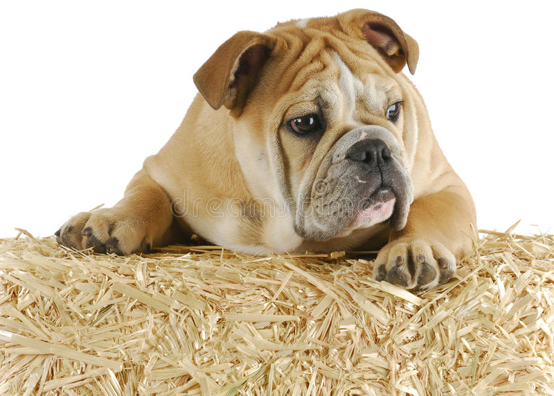 Download Bulldog on straw stock photo. Image of agricultural, english - 18066948