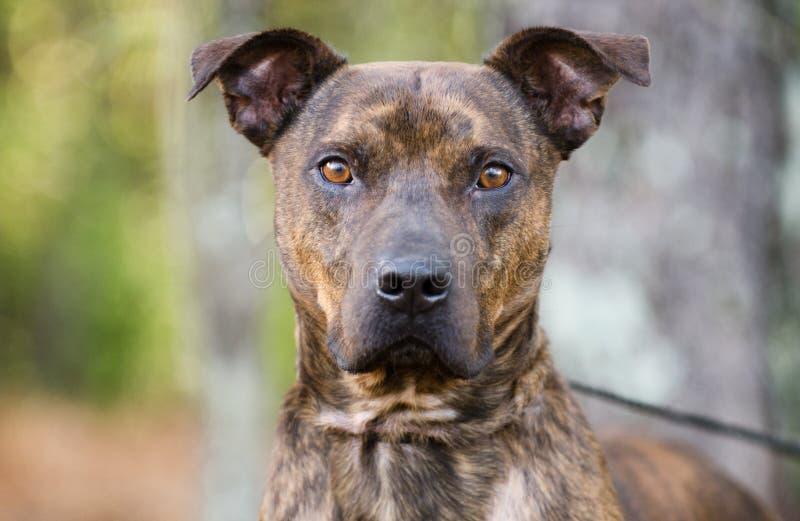 Bulldog striato di Pit Bull Terrier immagini stock