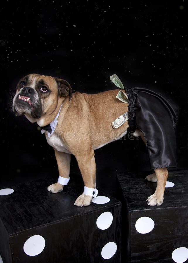 Bulldog in stripper pants, cuffs and tie. An English Bulldog in black satin stripper pants, white cuffs and a bow tie with money in pants - standing on dice stock photography