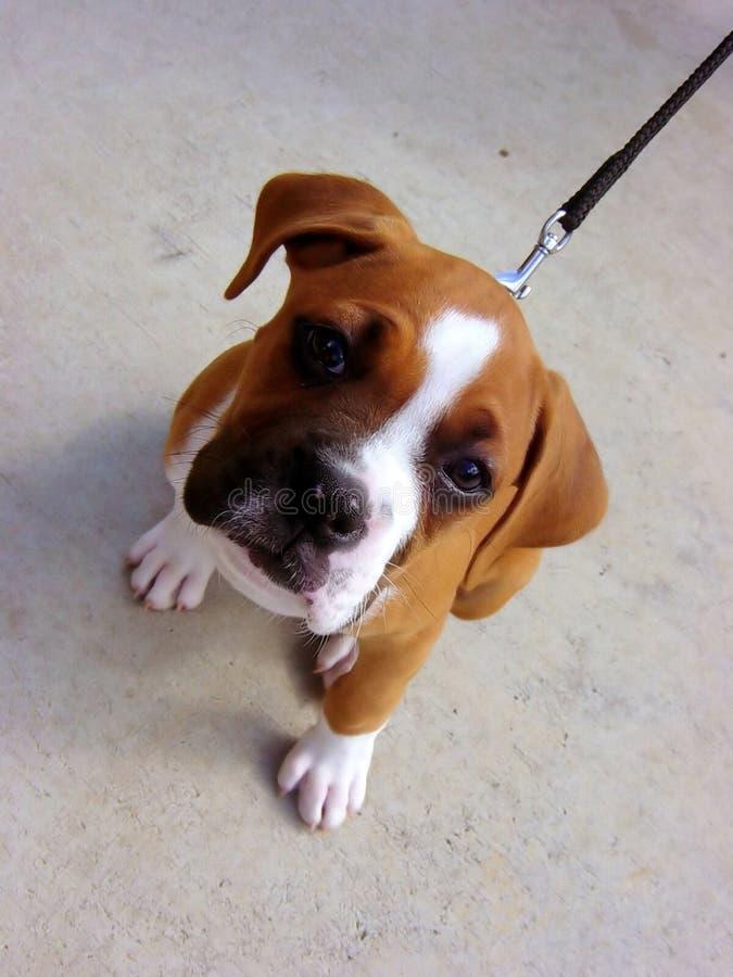 bulldog szczeniak obraz royalty free