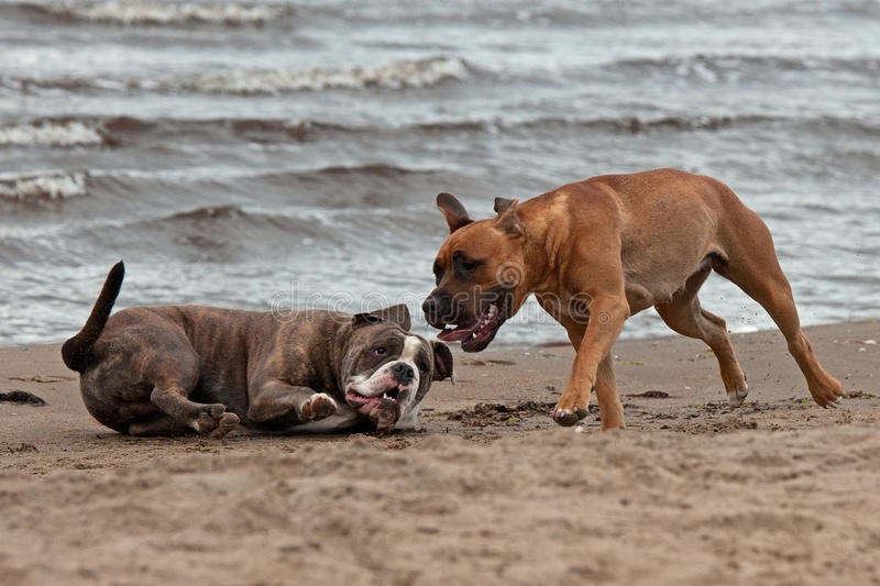 Bulldog and American staffordshire terrier met 3 stock photo