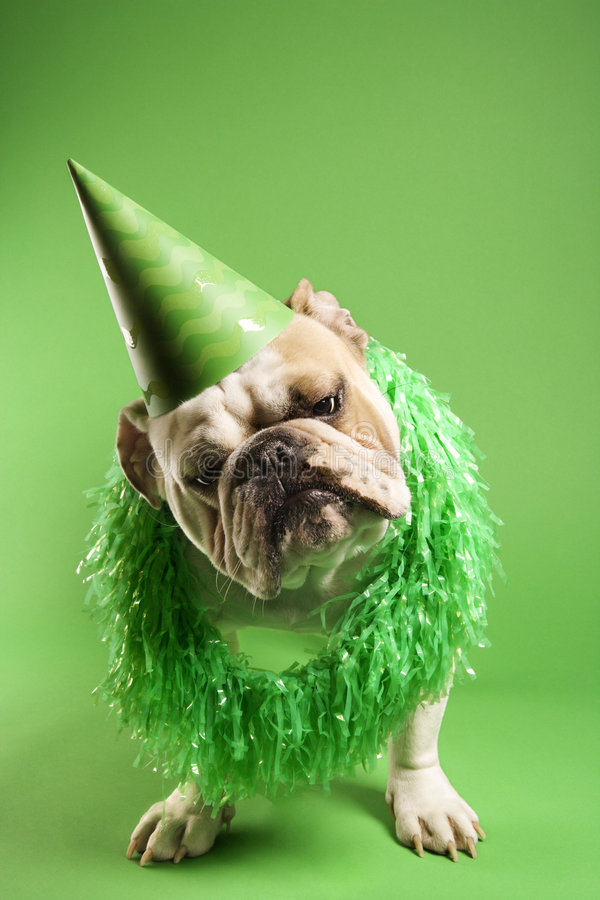 Bulldog wearing party hat. English Bulldog with curious expression wearing lei and party hat and sitting on green background stock photo