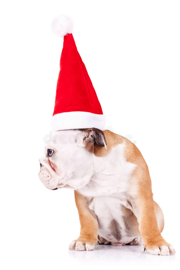 Bulldog wearing a santa big hat royalty free stock photo