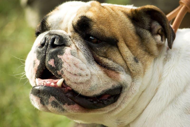 bulldogg royaltyfri foto