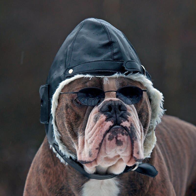 Bulldogg als Pilot lizenzfreie stockbilder