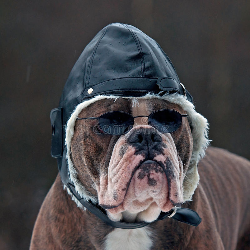 Bulldogg as a pilot. Olde English Bulldogg as a pilot with sunglasses and hat royalty free stock images