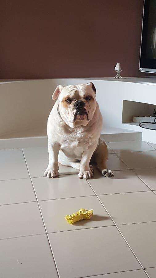 Bulldogg min ¤ för förälskelse❠fotografering för bildbyråer