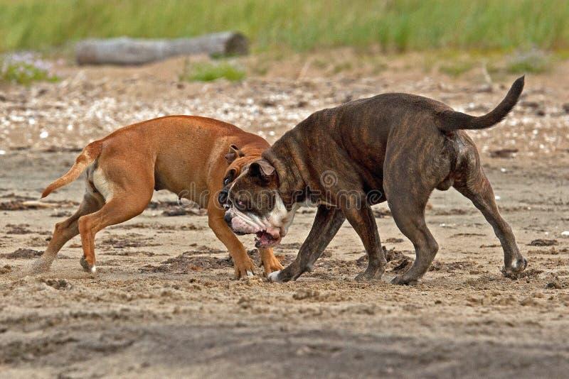 Bulldogg och amerikanska staffordshire terrierlek pÃ¥ stranden fotografering för bildbyråer