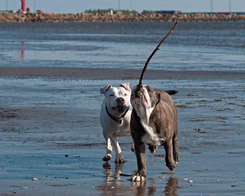 Bulldogg och amerikanska staffordshire terrierlek på stranden royaltyfri fotografi