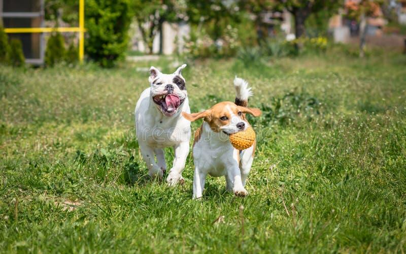 Bulldogg och beagle fotografering för bildbyråer